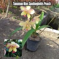 Tanaman Hias Spathoglottis Peach