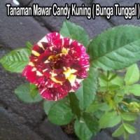 Tanaman Mawar Candy Kuning Bunga Tunggal