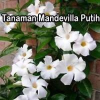 Tanaman Mandevilla Putih