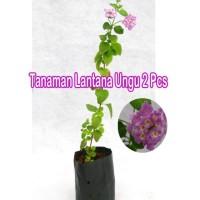 Tanaman Hias Lantana Ungu 2 Pcs