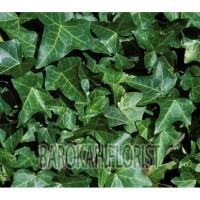Tanaman daun Hias Curtain Ivy