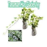 Tanaman Hias Glacier Ivy
