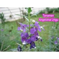 Tanaman Angelonia Ungu