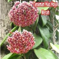 Tanaman Hias Hoya Merah