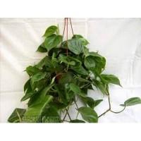 Tanaman Philodendron Cordatum