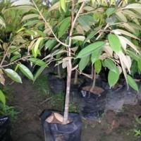 """I""""* Bibit Tanaman Durian Montong Dapat Berbuah Dalam Pot/Tabulampot"""