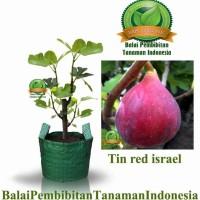**^ Bibit Tin Red Israel / Bibit Buah / Tanaman New!!