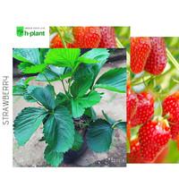 bibit strawberry australia-strawberry jumbo