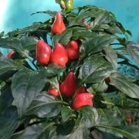 Bibit / Benih / Seeds Maya Red Pepper Ornamental Cabe Cantik Merah