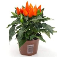 Bibit / Benih / Seeds Maya Orange Pepper Ornamental Cabe Cantik Oren