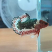 Ikan cupang fccp red head Male Size M