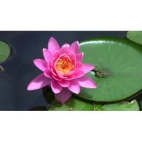 (4 Biji) Bunga Lotus Teratai Pink (B0213)