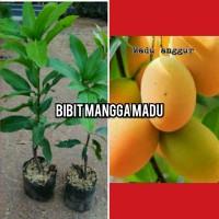 bibit buah mangga madu