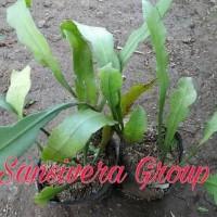 free ongkir! bibit kebun sehat tanaman bunga gantung wijaya kusuma