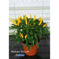 Bibit / Benih / Seed Cabe Yellow Medusa Pepper Mudah Tumbuh