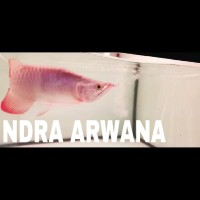 arwana super red KING SPESIAL