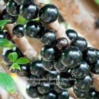 grosir! anggur brazil bibit tanaman super bisa dibuat bonsai terbaru^