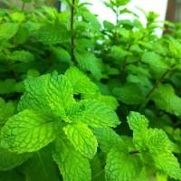 "i""* benih mint 5000 ++ bibit biji daun pepermint tanaman herbal herb"