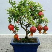 Bibit Tanaman Buah Delima Mini (Mini Red Pomegranate)⠀