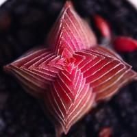 Aulan Egrow 100Pcs/Pack Succulent Lithops Plants Seeds Echeveria