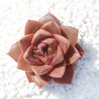 Aulan Egrow 100 Pcs/Pack Echeveria Purpusorum Seeds Fresh Succulent