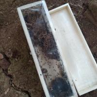 Bibit Klanceng Kelulut Trigona Leaviceps Lebah Tanpa Sengat
