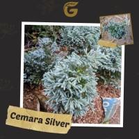 Tanaman Hias Pohon Cemara Silver