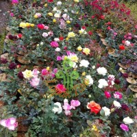 Pling Dicari Bibit Tanaman Bunga Mawar 10 pohon Berbunga / 1 paket /1
