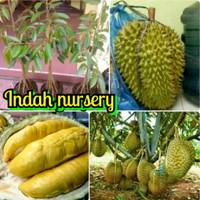 Bibit Durian Montong Kaki 10 Jumbo Cepat Berbuah