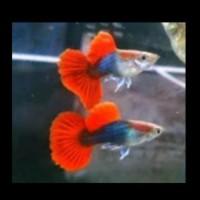 Ikan Hias Guppy Gappy Gupi Gapi Brazilian HB Red Tuxedo Red Garansi