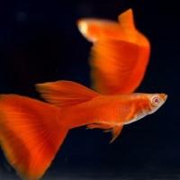 Ikan Hias Guppy Gappy Gupi Gapi Albino Full Red AFR Garansi