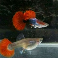 Ikan Hias Guppy Gappy Gupi Pasangan Trio Brazilian HB Red Garansi