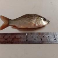 Info Ikan Mas Katalog.or.id