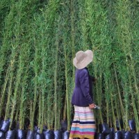 Sb4Ng Bibit Tanaman Hias Bambu Cina Hijau 60Cm