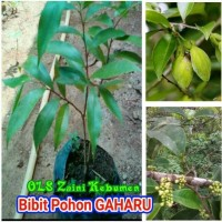 reb0n GAHARU Malaccensis, Bibit tanaman investasi yang menguntungkan