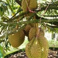 s@le bibit tanaman durian montong dapat berbuah dalam pot/tabulampot