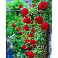anjai Bibit Tanaman Hias Bunga Mawar Rambat Merah/Climbing Rose