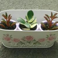 c4ri Bibit Tanaman Succulent Sukulen Hoya Kerii Thick Leaves BONUS POT