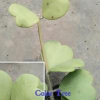 B@ru Bibit Tanaman Hias Cactus Dan Succulent Love Hoya