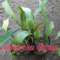reb0n Bibit Kebun sehat Tanaman Bunga Gantung Wijaya Kusuma