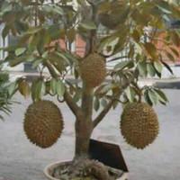 bibit buah durian montong bisa berbuah dalam pot(tabulampot)