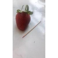 Bibit Benih Strawberry Jumbo