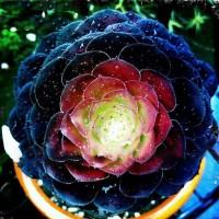 Aulan Egrow 100Pcs/Pack Peony Succulent Plants Seeds Garden Home DIY