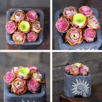 Aulan Egrow 100 Pcs/Bag Succulent Seeds Mountain Desert Rose Plants