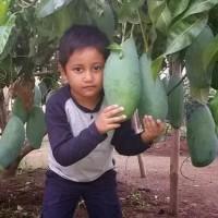 bibit buah mangga mahatir super jumbo