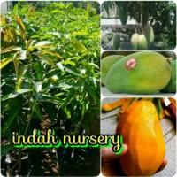 bibit tanaman buah mangga harum manis- arum manis-harumanis super