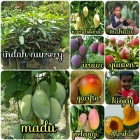 promo bibit buah mangga 5 jenis _ indah Nursery