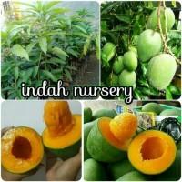 bibit buah mangga alpukat asli hasil okulasi cepat berbuah