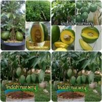 paket 3 jenis bibit buah alpukat miki-alpukat kendil-mangga kiojay