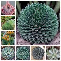 Aulan Egrow 100Pcs/Pack Aloe Cacti Agave Seeds Rare Succulent Plants